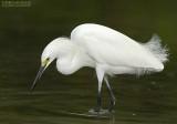 Amerikaanse Kleine Zilverreiger - Snowy Egret - Egretta thula