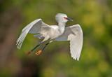 snowy egret - breeding plumage