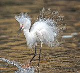 snowy egret breeding plumage