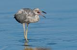 little blue heron (in transition)