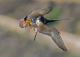 peregrine aerial exchange (adults)