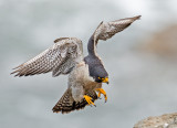 peregrine landing