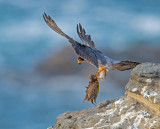 peregrine and meadowlark (lunch)