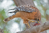 red shouldered hawk and crayfish