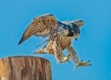 male falcon