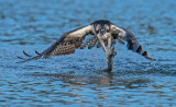 Osprey & the trout