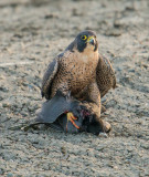 peregrine and coot