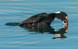 surf scoter diving