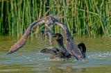 Osprey and cormorant