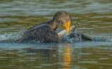 cormorant and trout