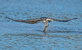 ospreytrout2.jpg