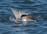 royal tern alternate plumage