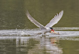 caspian tern and trout