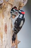 downy woodpecker nest