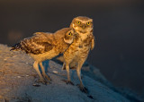 burrowing owl (mom and chick)