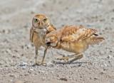 burrowing owls.,  Mom feeding jr a japenese beetle.
