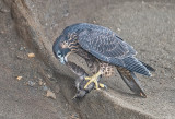 peregrine fledgling with starling