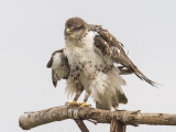 ferruginous hawk (juvie)