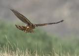 harrier hen hunting