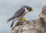 peregrine eating dove