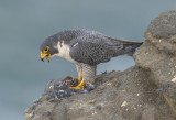 peregrine with hermit thrush