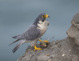 peregrine eating hermit thrush