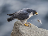 peregrine and sparrow