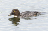 common goldeneye hen