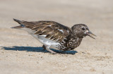 black turnstone gorging on grunion eggs