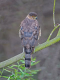 coopers hawk female