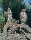 cooper hawk fledges