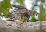 cooper hawk and mouse
