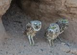 burrowing owl with pellet