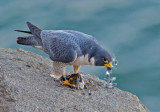 peregrine and breakfast