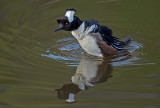 hooded mergansers courting
