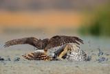 harrier fight