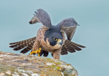 peregrine stretch