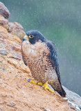 peregrine in the rain