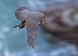 peregrine and eared grebe