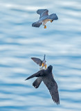 peregrines and starling