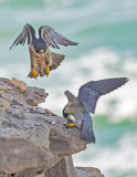 peregrines and lunch