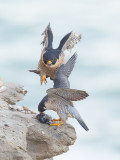 peregrine exchang on rocks