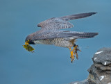 peregrine and warbler