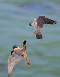 peregrines food exchange