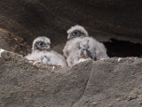 peregrine chicks 3 weeks old
