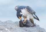 Peregrine with a starling