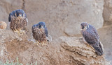 peregrines...the family