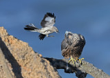 Peregrine and mocking bird
