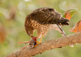 coopers hawk fledge