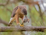 coopers hawk and prey
